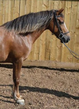 Chloe Horse For Sale Rockley Equestrian Centre Barnsley